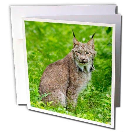 3dRose Danita Delimont - Big Cats - USA, Minnesota, Sandstone, Lynx - 1 Greeting Card with envelope ()