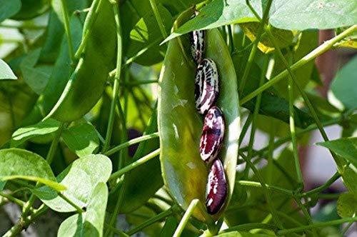 Christmas Pole Lima BEAN Seeds! - A Heavy Bearing, Long Season Climbing Bean!!(10 - ()