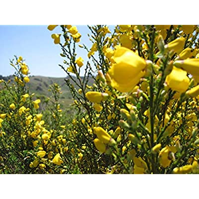 20 Seeds Cytisus Scoparius Scotch Broom Shrub Garden tkgre : Garden & Outdoor