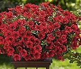 Petunia 'Fire Chief' (Petunia Nana Compacta) Flower Plant Seeds, Annual Heirloom