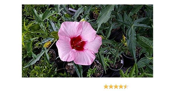 Amazon Lady Baltimore Hibiscus Shrub Linerstarter Huge