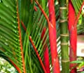Cyrtostachys renda - Red sealing wax palm – Lipstick palm - 15 seeds