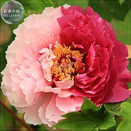 Amazon 2018 hot sale peony light pink dark red flower peony light pink dark red flower seeds big blooms double mightylinksfo