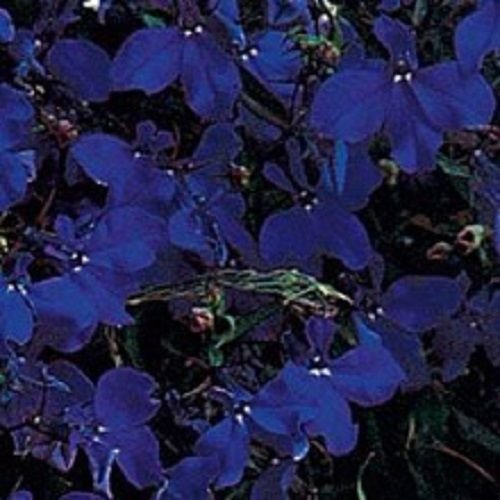 50+ LOBELIA MIDNIGHT BLUE TRAILING PERENNIAL FLOWER SEEDS
