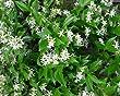 Jasmine Confederate -Favorite Intensely Fragrant Easy to Grow Vine Jasmine Starter Plants 6 Pack