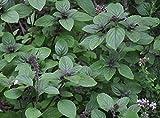 "Albahaca African Blue Basil Plant - 4"" pot - The Best Indoor Basil"