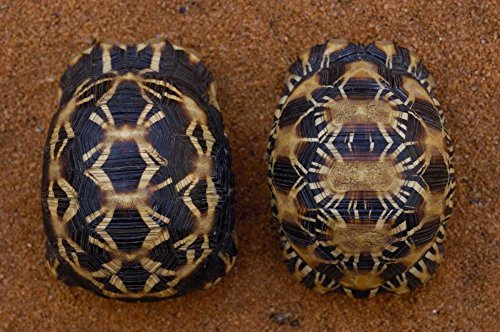 Posterazzi Spider (Left) and Radiated Tortoise (Right) Madagascar by Pete Oxford Poster Print, 10
