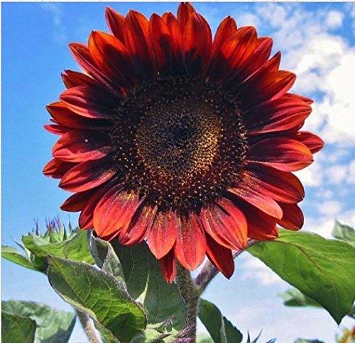 red sun sunflower seeds - 5