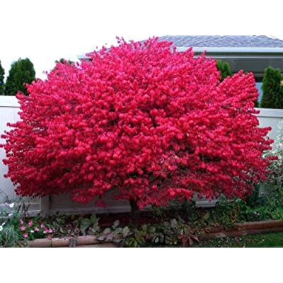 "Dwarf Burning Bush Plant 4"" Pot Hardy Shrub (Euonymus Alatus) : Garden & Outdoor"