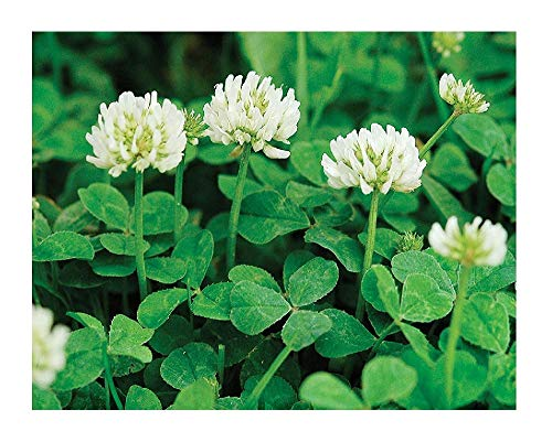 - David's Garden Seeds Cover Crop Clover New Zealand YP9124 (White) Open Pollinated One Pound Package