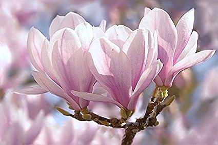 Buy Srushti Traders Michelia Magnolia Champaca Live Plant Pink