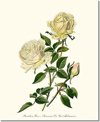 Amazon Com White Rose Print Vintage Botanical Art Bourbon Rose