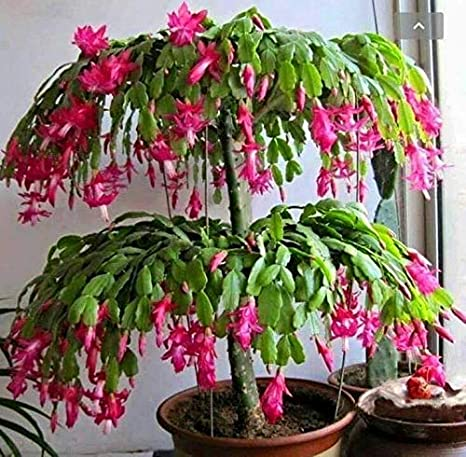 Christmas Cactus.Amazon Com 2 Christmas Cactus Rooted Cutting 1 Pink And 1