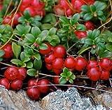 Fresh Mountain Cranberry 50 Seeds Vaccinium Vitis-idaea Wild Fruit