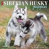 Just Siberian Husky Puppies 2022 Wall Calendar (Dog Breed)