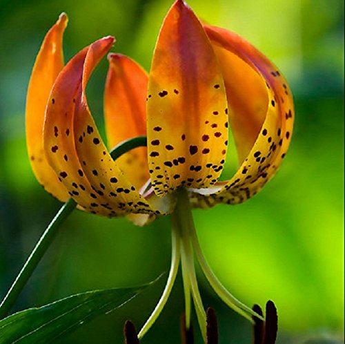 (12 Bulbs of Lilium Martagon - Turk's Cap Lily. Numerous Dainty and Scented Flowers on Stems )