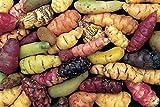 Seeds: : Oca Tubers - Oxalis tuberosa - New Zealand Yam