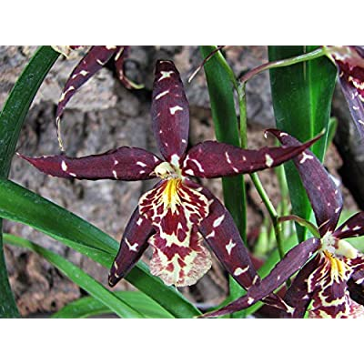 Orchid Insanity - Sander. Red Star - Big Dark Flowers on Arching Spike, Easy to Grow (NOT in Bud/Bloom When Shipped) : Garden & Outdoor