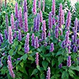 Outsidepride Agastache Mexicana Lavender Blue - 1000 Seeds