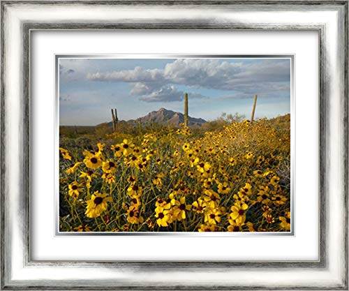 Saguaro Cacti and Brittlebush at Picacho Peak State Park, Arizona 24x19 Silver Contemporary Wood Framed and Double Matted Art Print by Fitzharris, Tim