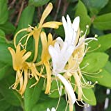 Hall's Japanese Honeysuckle, Lonicera Japonica Rooted Vines - Small Plant