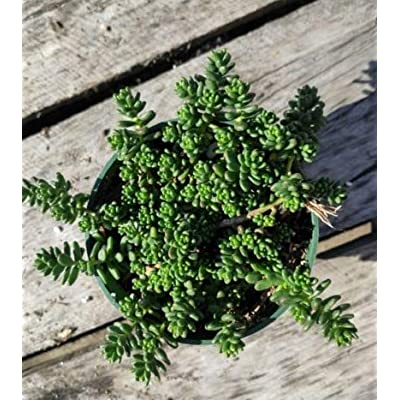 "Fresh Rare Succulent Plant Rhipsalis Cereoides Shown in 4"" Pot Easy Grow #SDP01YN : Garden & Outdoor"