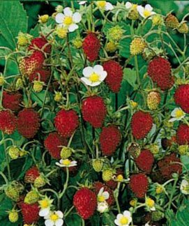Seeds And Things Alpine Strawberries Are Ideal To Grow In A Patio Container  Garden! 25