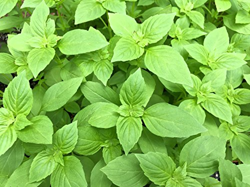 Four Types of Basil Seeds - Cinnamon, Thai Lemon, Purple and Italian - Non GMO (100 seeds each)