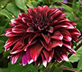 Contraste Dahlia Flower Seeds 50 Stratisfied Seeds
