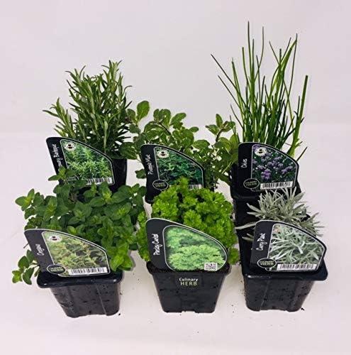 6 plantas de hierbas, incluyendo hierbas como romero, cilantro ...