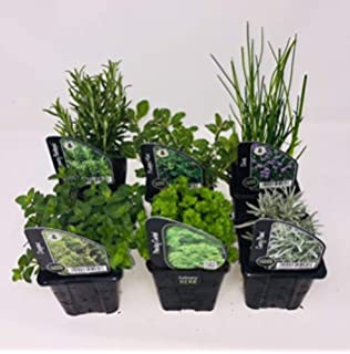 Thyme 6 Pack of Potted Mixed Herb Plants Assorted Plants Such as Parsley Mint Sage