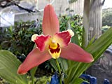 Lysudamuloa Red Jewel NEW Lycaste Hybrid! Collectors item! Easy to grow! Orchid Plant