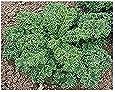 Grünkohl Kale Vates Blue Scotch Curled - 250 Samen