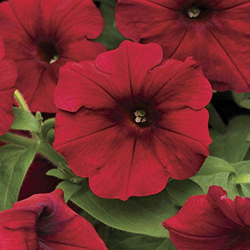 (Park Seed Easy Wave Red Velour Petunia Seeds)