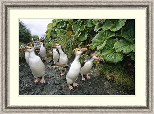 framed-art-print-royal-penguin-group-walking-to-colony-macquarie-island-by-tui-de-roy