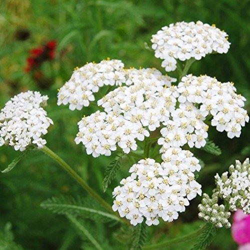 Non GMO Bulk White Yarrow Seeds Achillea millefolium
