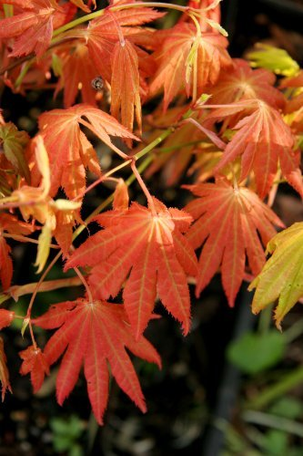 Amazoncom Autumn Moon Fullmoon Japanese Maple 2 Year Live Plant