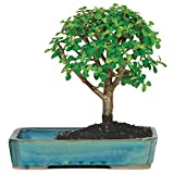 "Brussel's Live Jade Indoor Bonsai Tree in Water Pot - 3 Years Old; 8"" to 10"" Tall"