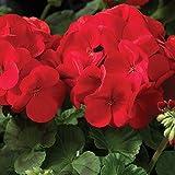 Maverick F1 Series Geranium Flower Garden Seeds - Scarlet - 100 Seeds - Annual Flower Gardening Seed - Pelargonium x hortorum