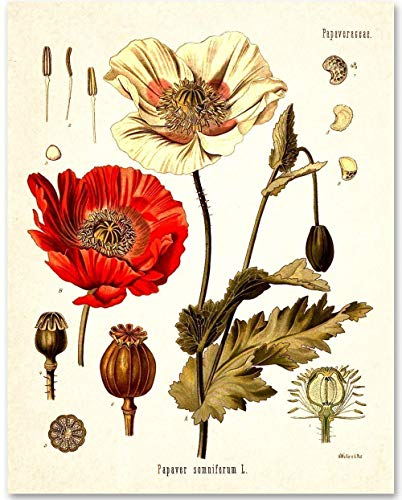 Opium Poppy Plant - 11x14 Unframed Art Print - Makes a Great Gift Under $15 for Biologists or Home Decor