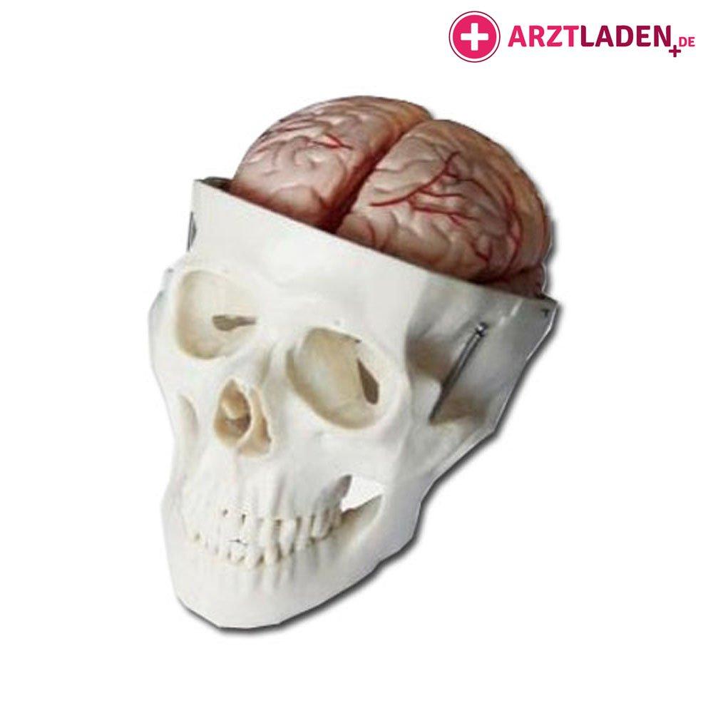 Anatomie Schädel Menschenschädel mit Gehirn: Amazon.de: Drogerie ...