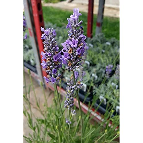 Indoor Lavender Plant: Amazon.com