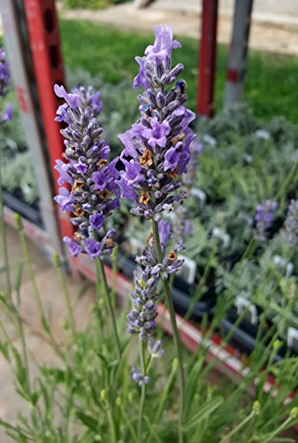 Findlavender - Lavender French Provence - Very Fragrant