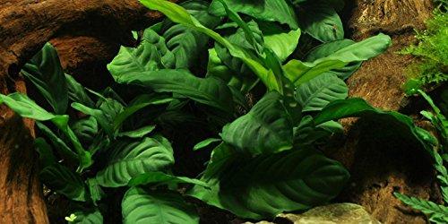 Water Plants Anubias barteri 'Coffeefolia' - Live Aquarium Plant