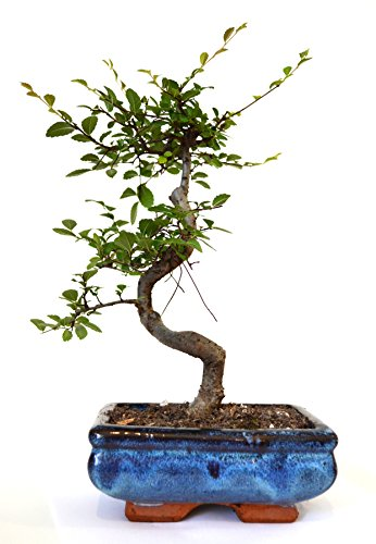 9GreenBox Chinese Elm Bonsai Tree