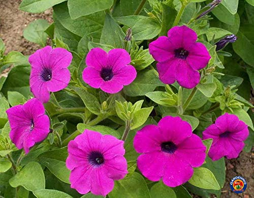 (1000 Seeds of Petunia violacea, Wild Petunia)