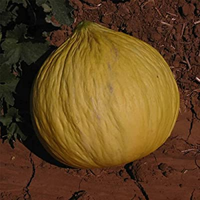 Casaba Melon Garden Seeds - Golden Beauty - Non-GMO, Heirloom Vegetable Gardening Seeds - Fruit