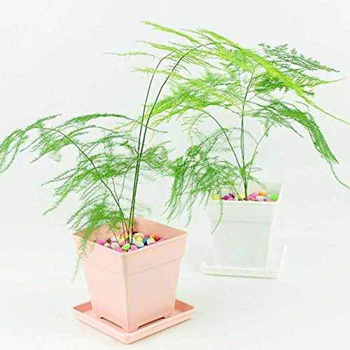 Fern Leaf Plumosus Asparagus Fern Seeds 6+ Easy to Grow Great Houseplant (Best Asparagus To Grow)