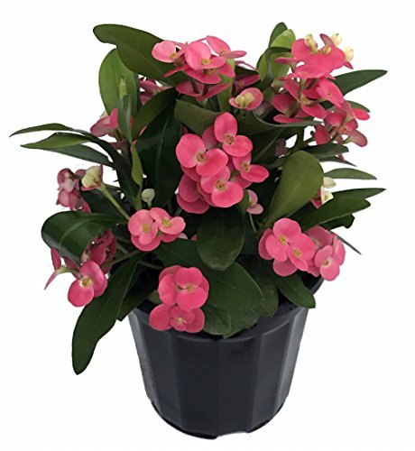 Pink Crown of Thorns Plant - Euphorbia - 4