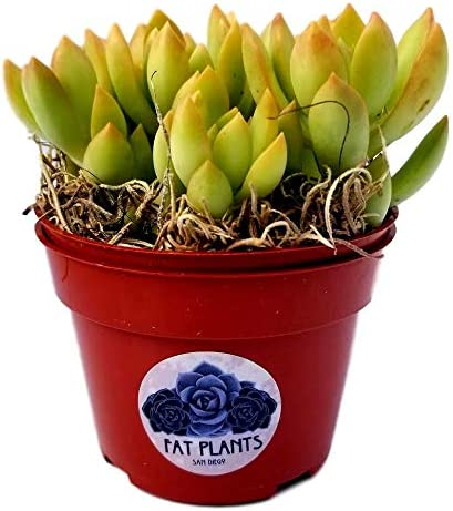 """SUCCULENT-Echeveria Lilacina HEALTHY Live ROOTED Plant 3/"""" Pot FREE S//H!"""